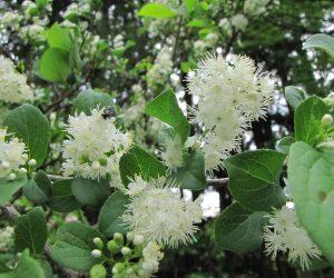 5月16日 サワフタギの花 水辺が好きで沢を蓋するように茂るのでこの名が、山の尾根近くにも生えています