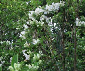 5月20日 白花タニウツギ(白点ハナムグリの好物)