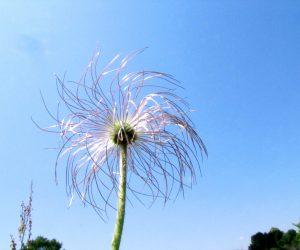 5月20日 翁草四塚の歴史博物館の庭にたくさんあります