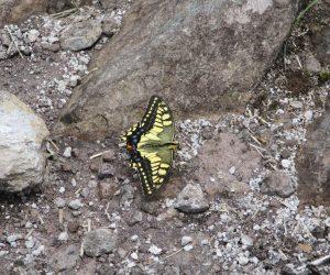 八合目で出会った蝶