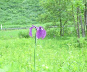 ノハナショウブ 花菖蒲の原種