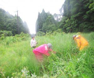 ヒメガマの刈り取り ヒメガマはガマ細工用に栽培、その種が飛んで彼方此方の湿地に侵入しています。蒜山には自生していない外来種。