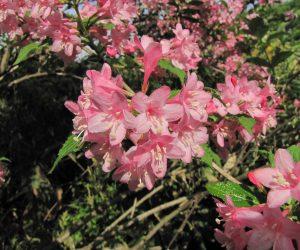 5月25日 タニウツギ赤花