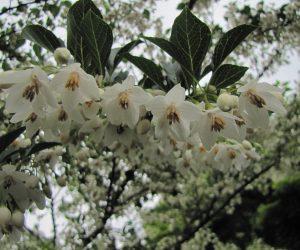 5月25日 エゴの花  今年はエゴの花がどの木も沢山咲きました