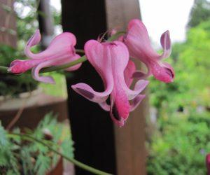 5月26日 コマクサ  もちろん蒜山には自生していません、これは御近所の花好きの方からのもらい物、実生でよく増えます