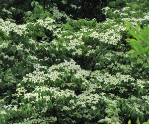 5月30日 ヤマボウシ ヤマボウシも今年はたくさん花を付けました