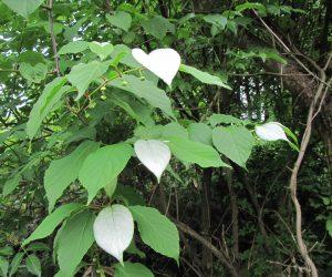 6/1 マタタビ 花が咲くころ枝先の葉数枚が白くなり実が大きくなるころまた青くなります