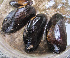 6/5 川真珠貝 大きささ5~8㎝位、15年生くらいが限界のようです