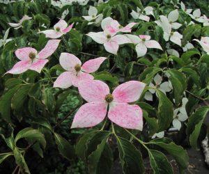 6/7 ヤマボウシ ヤマボウシは木によって花の終わりころに赤くなります。 源平咲で