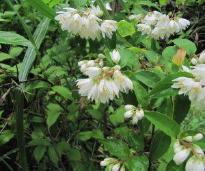 6/7 卯の花 卯の花はほとんど匂いがありません。 卯の花の匂う垣根は卯の花が匂うがごとく咲いているの意だそうです。