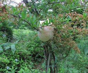 6/8 モリアオガエルの卵塊 旧山陽休暇村の水を抜かれた水槽から8年前に移住させたものです。