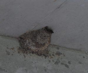 6/9 コシアカツバメの巣 この建物には数年前からコシアカツバメガ巣を作り始め現在4個の巣があります。