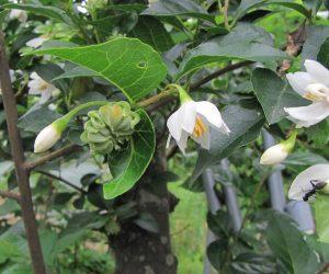 6/12 エゴの木のチュウエイ エゴの木の実に虫が卵を産み付けるとこんな形に変形、今年もたくさんできています。
