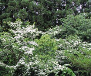 6/12 ヤマボウシの花 今年はヤマボウシが沢山花をつけています