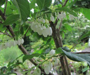 6/14  ネジ木の花 中高木(5~10m)樹皮がねじれるのでネジ木、樹高2mにもならないのに花が咲きました。