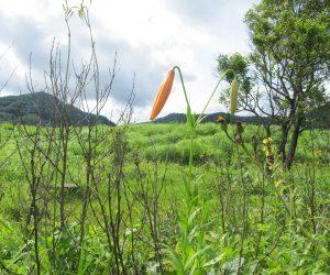 【郷原湿地 コオニユリ】コオニユリやキキョウはこれから、 ユウスゲはたくさん株がありますが夕方6時ころから朝8時ころまでです