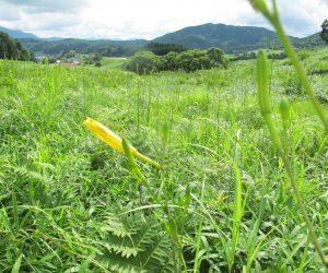 【 郷原湿地 ユウスゲ】花径が沢山あります、 夕方咲くのでユウスゲ、夕方6時ころに咲き朝8時ころにしぼみます