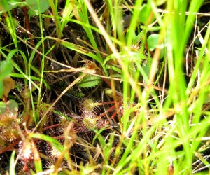 【郷原湿地 モウセンゴケ】モウセンゴケの花は間もなくです