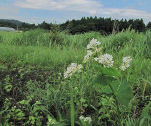 【7/2 蕎麦の花】 去年のこぼれ種、蒜山は秋蕎麦、耕転してこれから種をまきます。
