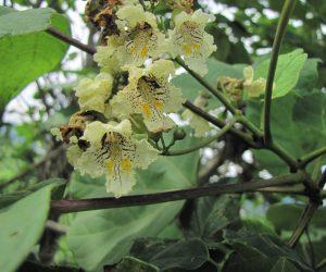 【7/2 キササゲ】  インゲンの様な実がなるので木ササゲ