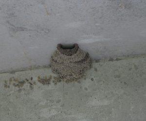 【7/4 コシアカツバメの巣】2度目の子育てをしています。
