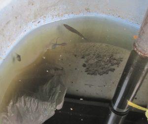 【7/5 オタマジャクシとハヤ】ボウフラ対策に小川からハヤを釣ってきて水受けバケ手に放しています。 モリアオガエルのオタマジャクシが同居