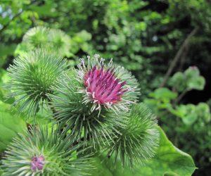 7月11日 ゴボウの花