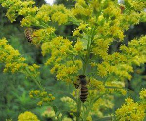 7/13 日本ミツバチ ソリダゴの蜜を集めています