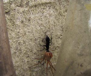 7/14 ベッコウ蜂 アシダカクモを地中に掘った穴に運び卵を産み付け幼虫の餌にします。 雲は麻酔を掛けられただけで死んでいません。