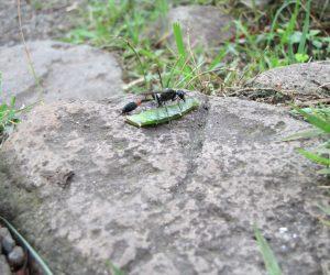 7/14 ジガ蜂 ジカ蜂も幼虫の餌にするために刈りをしています