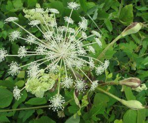 8/9  シシウド よく似たハナウドは6月頃に咲きます