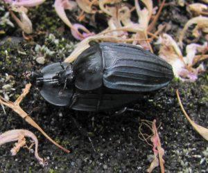オオヒラタシデムシ 交尾中ですが近くに幼虫も居ました