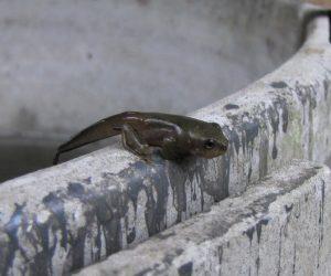 モリアオガエル  尻尾を付けた状態で水から離れます