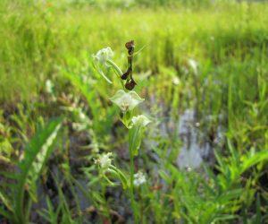 8/7  トンボ草 小内海湿地で撮影、天谷湿地にもあります
