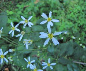 8/21 シラヤマキク(花弁が7枚以下がシラヤマキク、8枚以上がヤマシロキク、開花期はヤマシロキクのほうが少し早いようですが近くに植えておくと混血して中間型が出来るようです。)