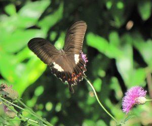 8/23 モンキアゲハ(タムラソウの蜜を吸っています、 大分疲れているようで右の尾が無くなっています)