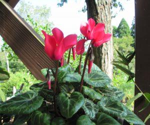 9月2日 シクラメン 春まで咲き続けていたシクラメン、暖かくなって屋外へ出したら派が沢山出てきて休眠せずにもう花が咲き始めました。 蒜山の場合屋外では秋が花の季節で冬は雪の下で休眠となるのでしょう。