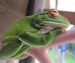 9月3日 シュレーゲルアオガエル 何時も庭や畑で見かけるのですが今年はじめてお目にかかりました、モリアオガエル、カジカガエルの同族でコロコロときれいな声で鳴きます。