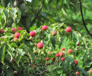 9月3日 ヤマボウシの実 毎日ヒヨドリなどが食べに来ています、落ちた実はタヌキの餌です。