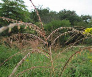 9月7日 ススキの花 稲の仲間なので稲と同じような花が咲きます。