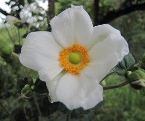 9月7日 シュウメイギク 貴船菊とも言う中国からの帰化植物