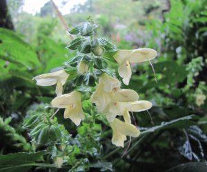 9月8日 黄花アキギリ 虫が花に止まると長く突き出た雄蕊が虫の背中について花粉を他の花に運んでもらう