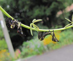 9月9日 アケビコノハの幼虫