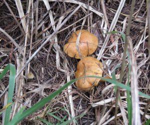 10 /4 イグチ(食)若い松の根元に出てきます