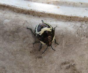 10 /6 アカスジキンカメムシ 5齢虫 五齢虫で越冬し来年の初夏に成虫になるとの事です