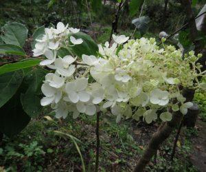 10 /10 ノリウツギ 初夏に咲く花が今頃咲いています