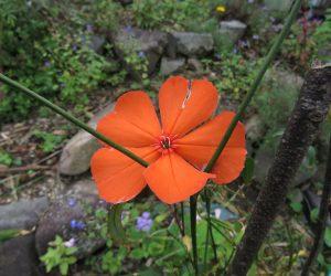 10 /10 フシグロセンノウ 何度もウリハムシに食べられて狂い咲きです