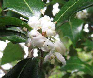 10 /10 ヒイラギの花 キンモクセイよりは上品な香りです