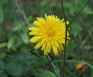 10/11 ブタナ 初夏の花ですが季節はずれにも時々咲いているのを見かけます