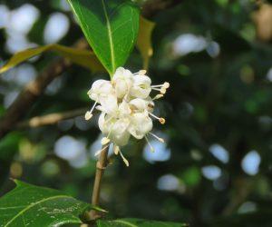 10/13 ヒイラギの花 キンモクセイより上品な香りです。